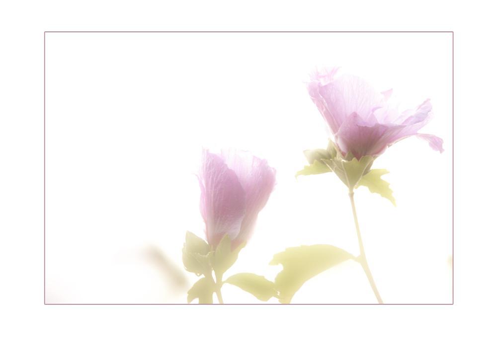Photo in Nature #garden #highkey #flowers #softtone
