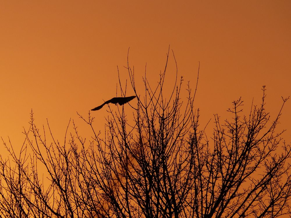 Photo in Nature #magpie #tree #sunset #silhouette #taking off
