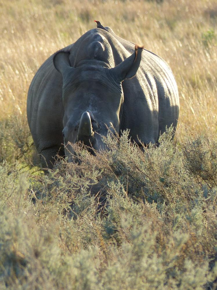 Photo in Animal #rhino #savannah #ox pecker
