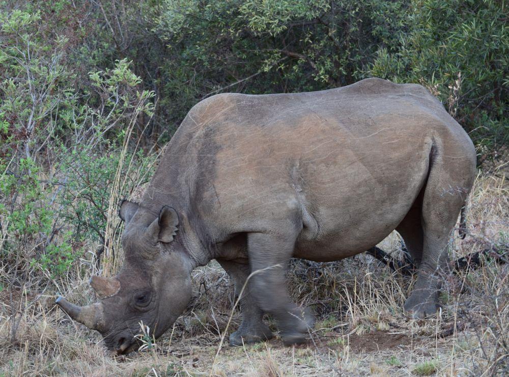 Photo in Animal #rhino #south africa #entabeni