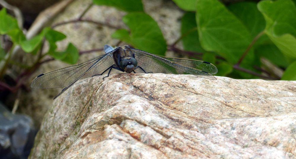 Photo in Animal #dragonfly #eyes #stone
