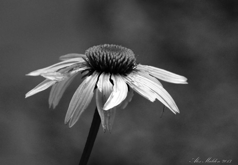 Photo in Nature #flower #bloom #. garden #daisy #nature