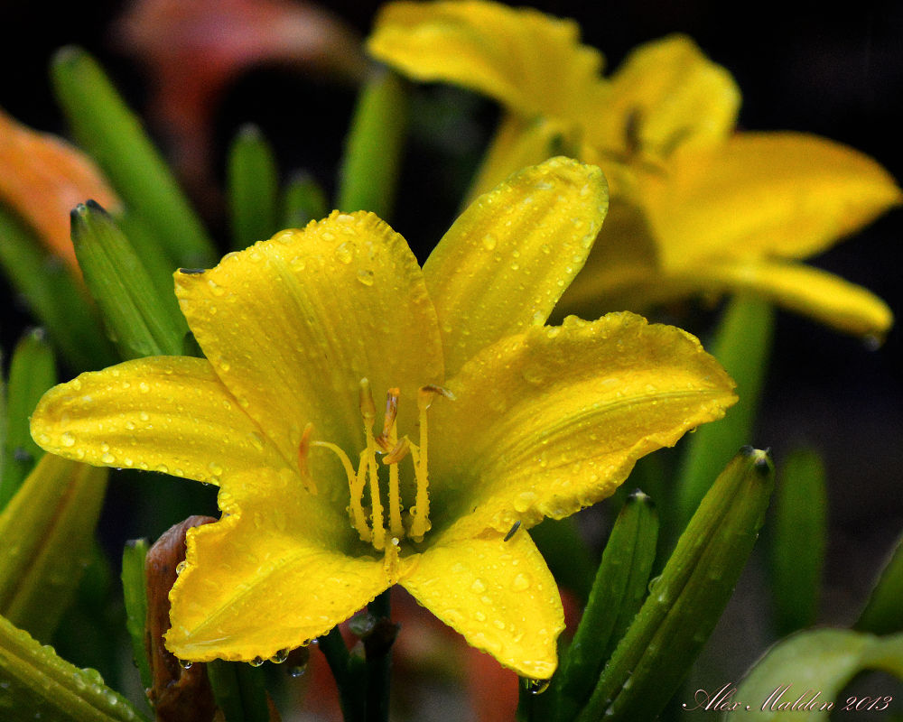 Photo in Nature #rains #bloom #flower #blossom #lillies