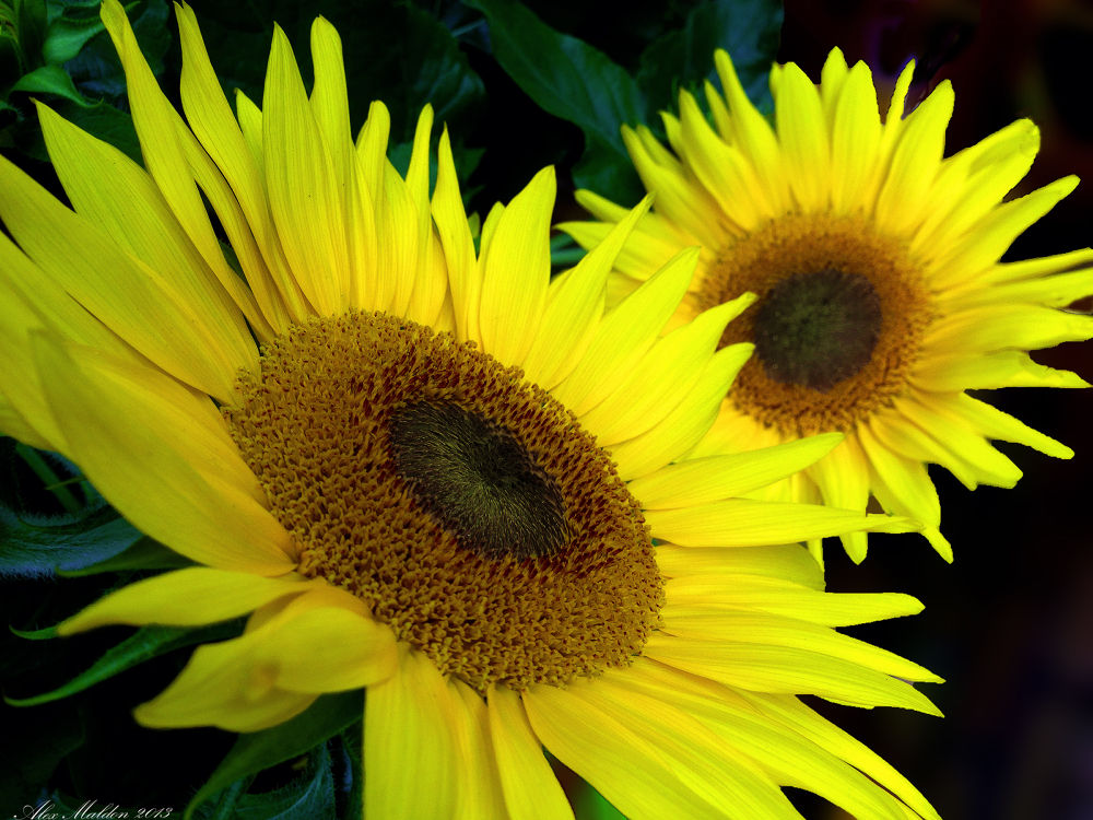 Photo in Random #sunflower #sun #flower #nature