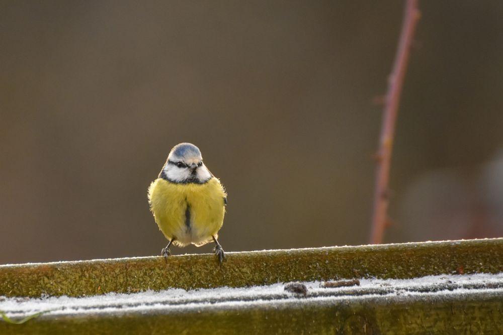 Photo in Random #blue tit #tit #bird #animal
