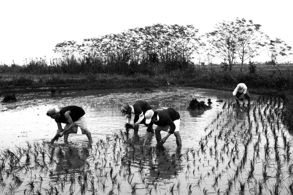 Photo in Random #agrarian reform #agriculture #rice farming #hacienda luisita #tarlac
