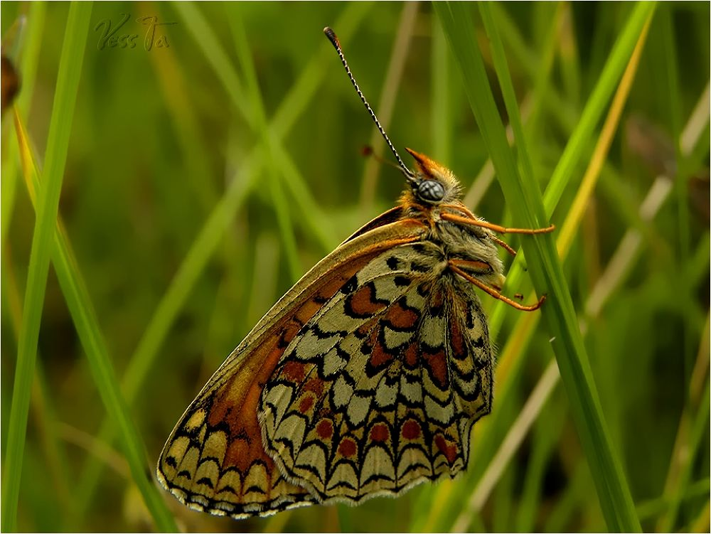 Photo in Macro #butterfly #insect #grass #green #summer #brown