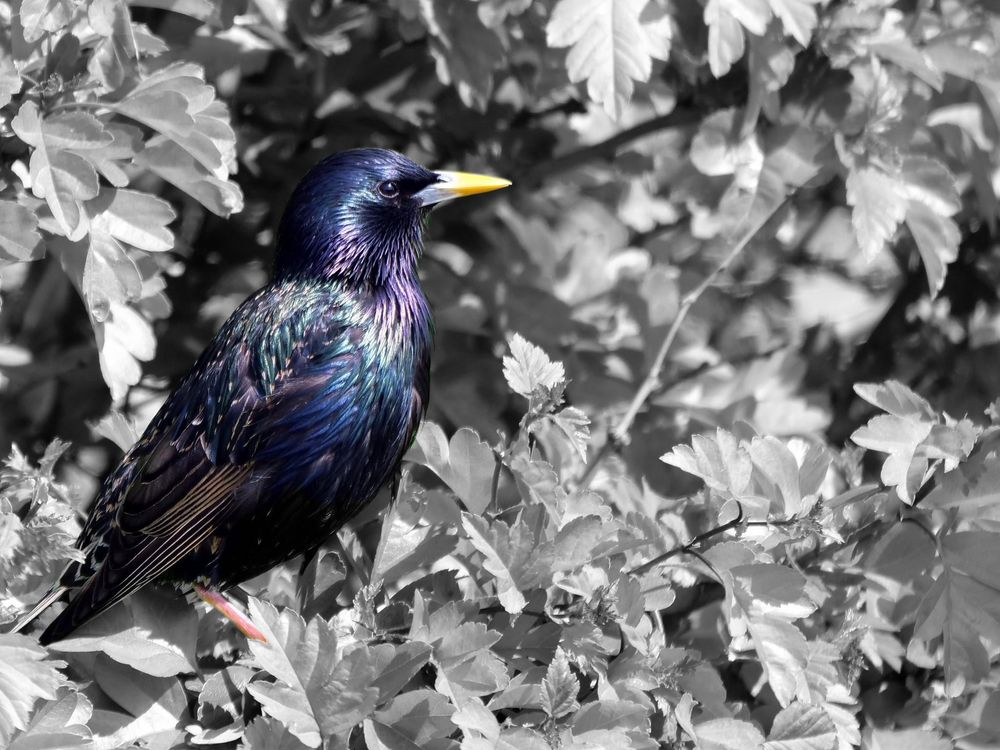 Photo in Nature #bird #starling #colourful
