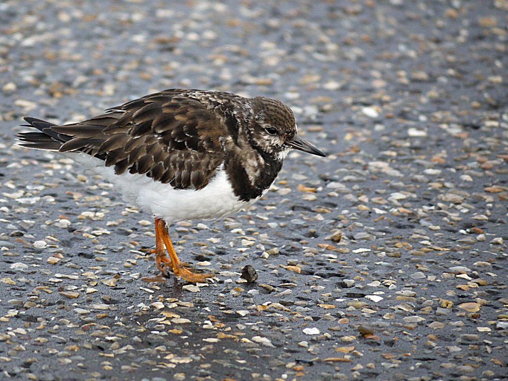 Photo in Nature #turnstone #bird #wader #winter plumage
