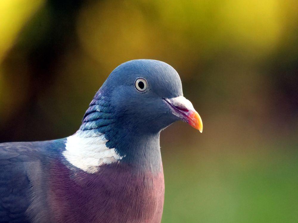 Photo in Nature #bird #pigeon #wood pigeon