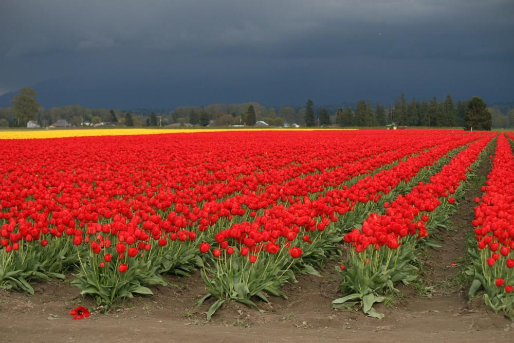 Photo in Rural #tulips #flowers #spring #washington #mount vernon #festival #weather