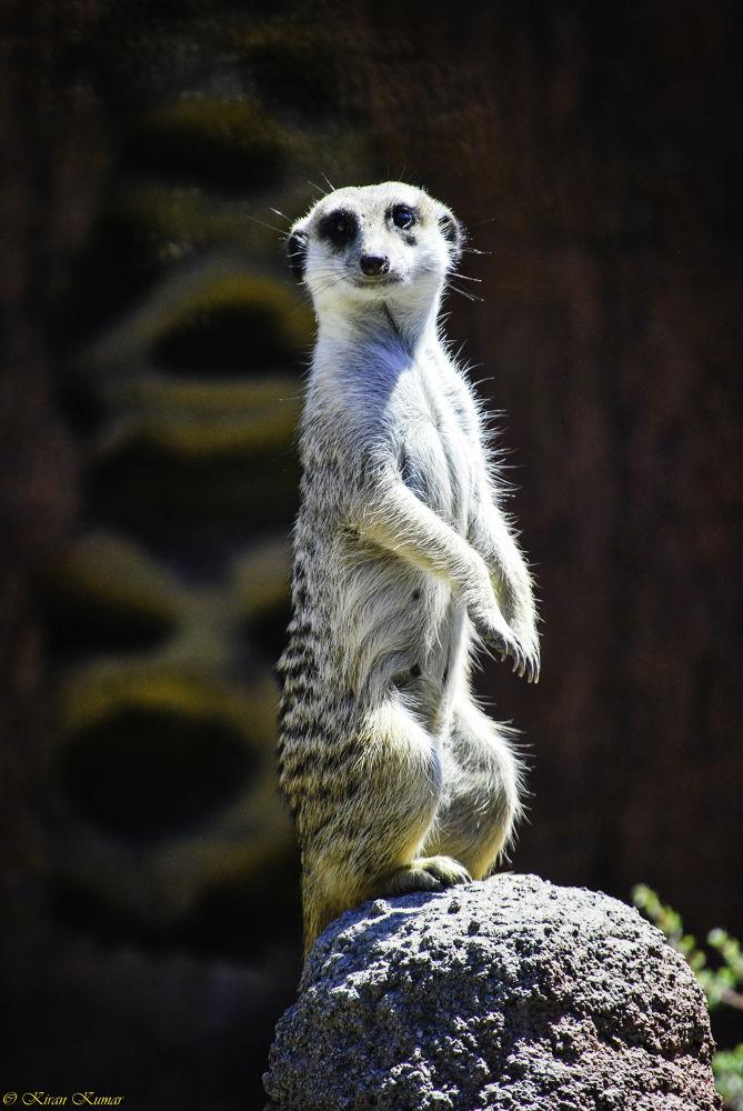 Photo in Random #watchman #meerkat