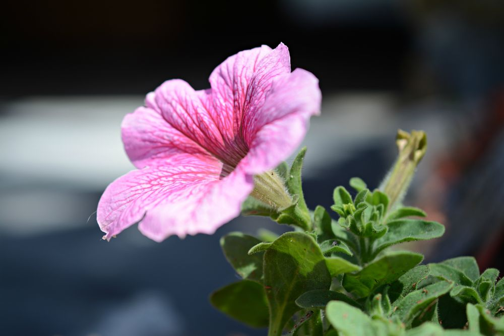 Photo in Nature #pink #flower #nature #plant #garden #single #close up