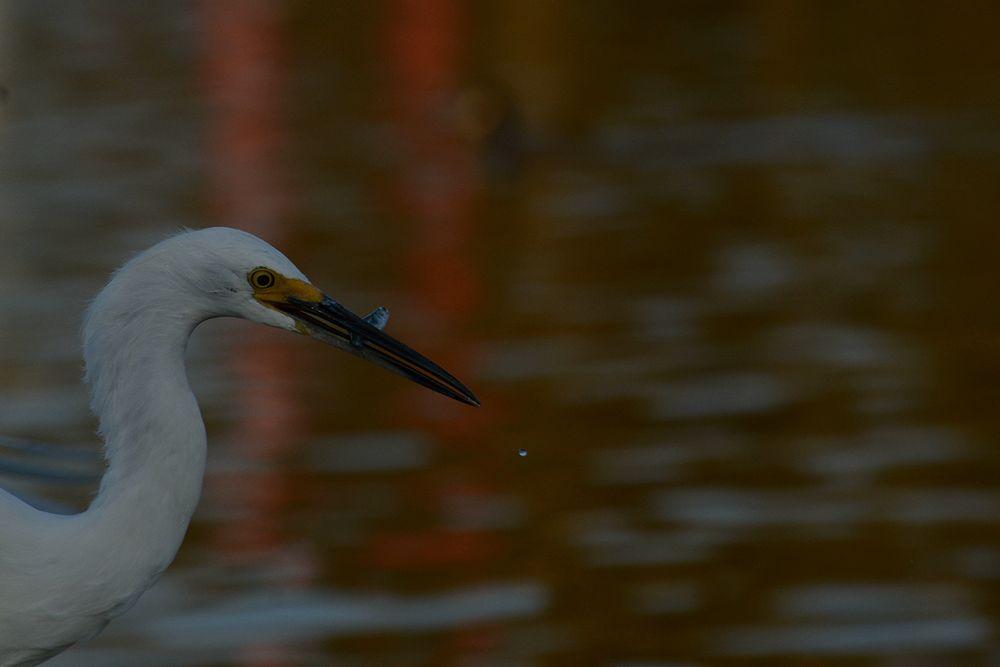 Photo in Animal #animal #ruleofthird #random #fish #wildlife #nature #snowy egret #bird #water fowl #drop