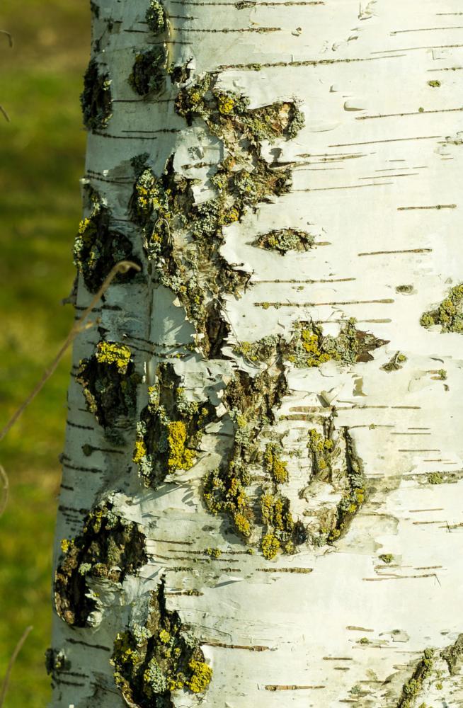 Photo in Nature #tree #silver #birch #lichen #nature #spring