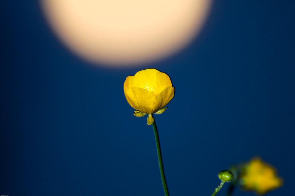 Photo in Macro #buttercup #moon #night