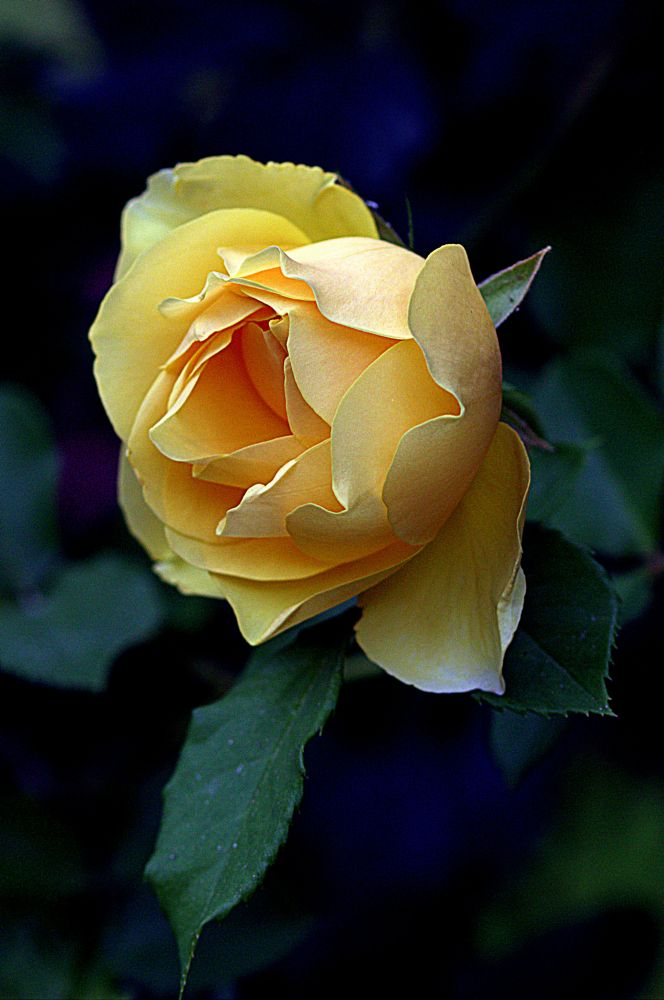 Photo in Nature #nature #rose #yellow #flowers