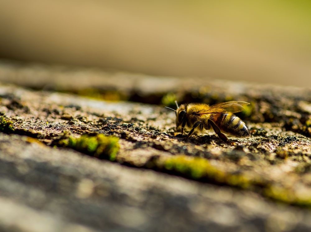 Photo in Macro #stump #bee #calmness