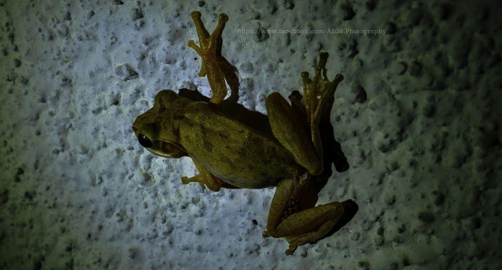 Photo in Animal #nikon #d5000 #animal #frog #india #nature #wildlife