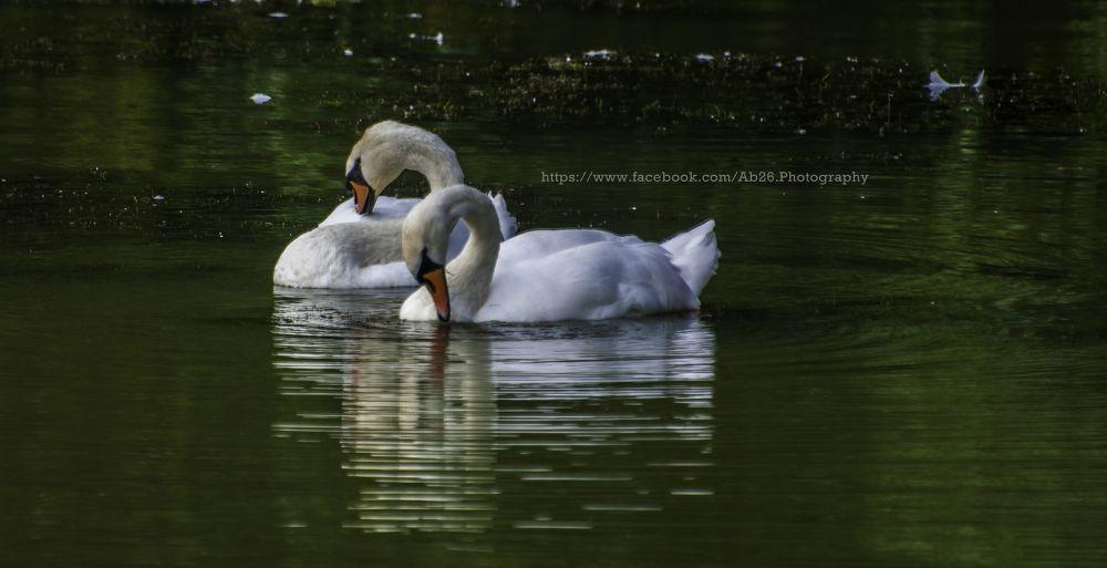 Photo in Animal #nikon #d5000 #longleat #safari #nature #animal #uk #swann #water #reflection