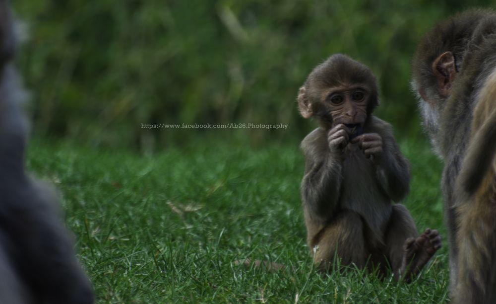 Photo in Animal #nikon #d5000 #nature #animal #monkey #longleat #uk #safari #wildlife