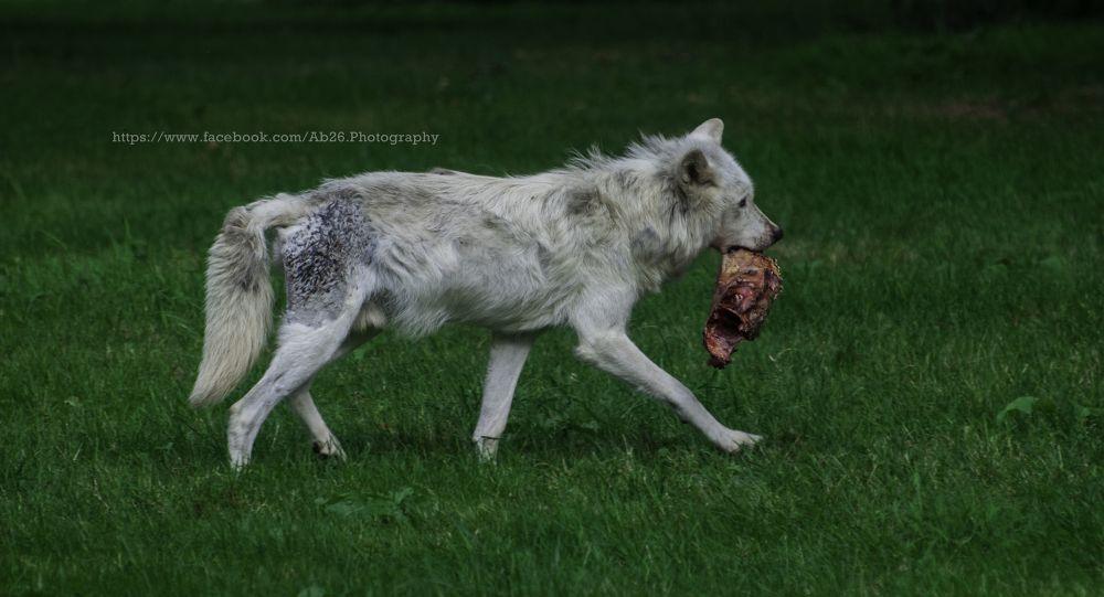 Photo in Animal #nikon #d5000 #meat #nature #animal #wolf #wildlife #longleat #uk #safari #travel