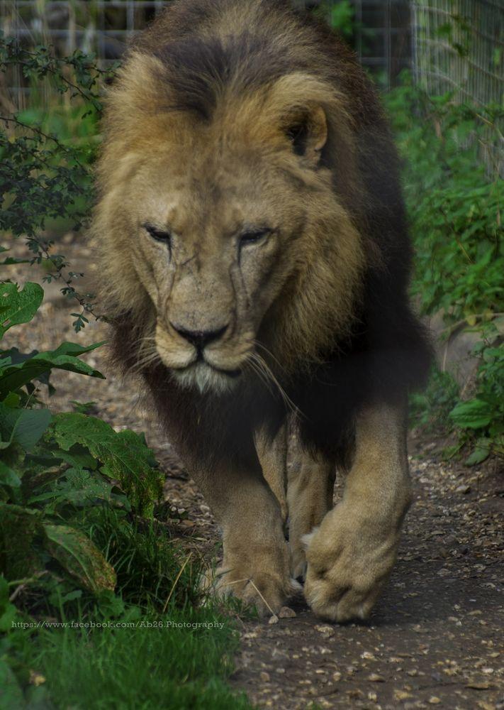 Photo in Animal #nikon #d5000 #nature #animal #isle of wight #zoo #uk #travel #lion #wildlife