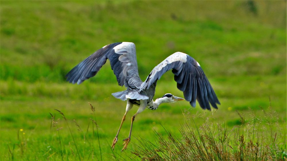 Photo in Animal #blue heron #heron #crane #bird #wildlife
