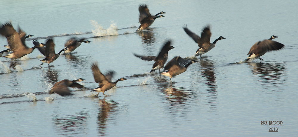 Photo in Nature #canadian geese #take off #flight #wings #water