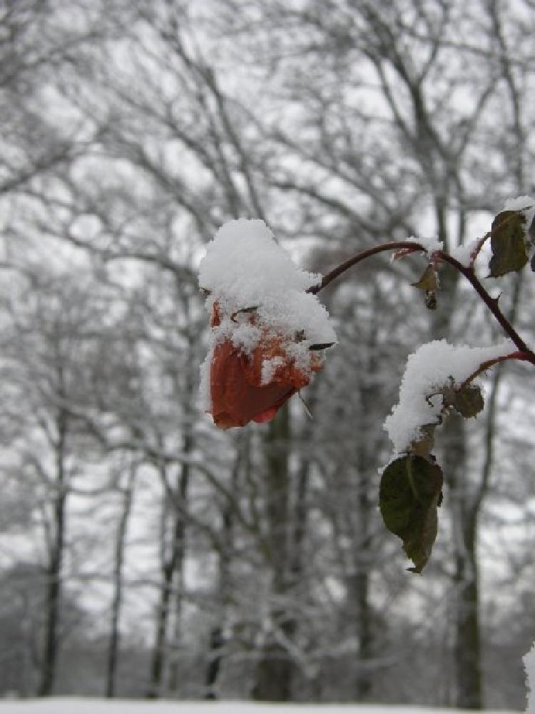 Photo in Random #rose #ice #close up #red rose #snow