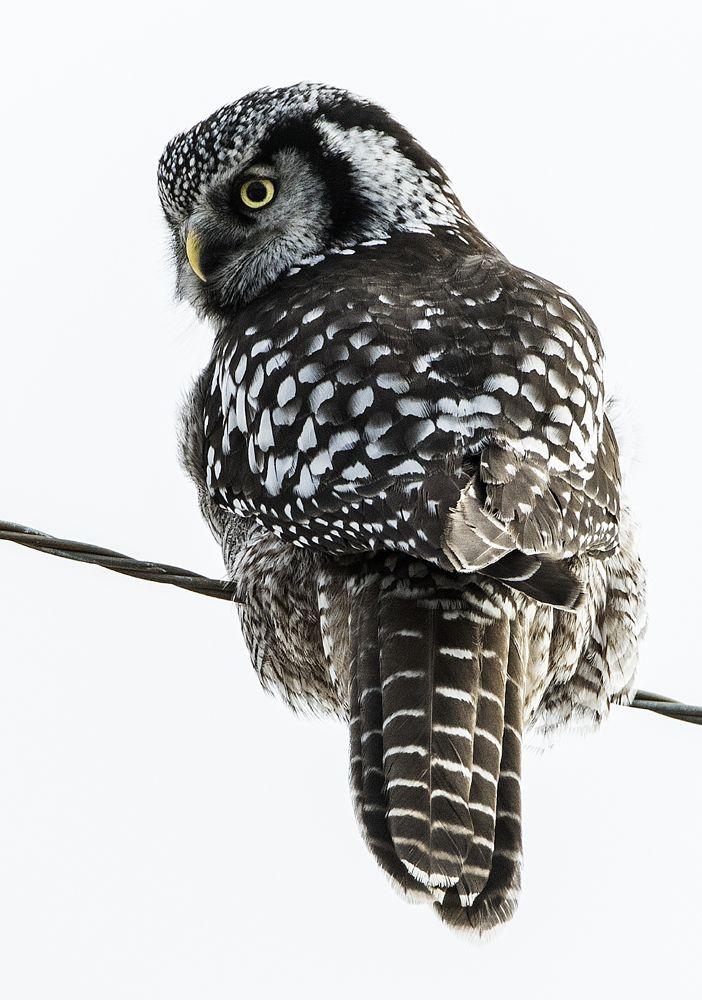Photo in Animal #hawk owl #owl #surnia ulula