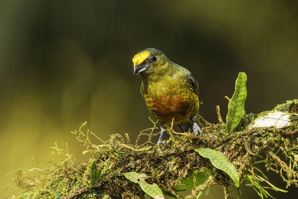 Photo in Animal #euphonia #olive backed euphonia #euphonia gouldi