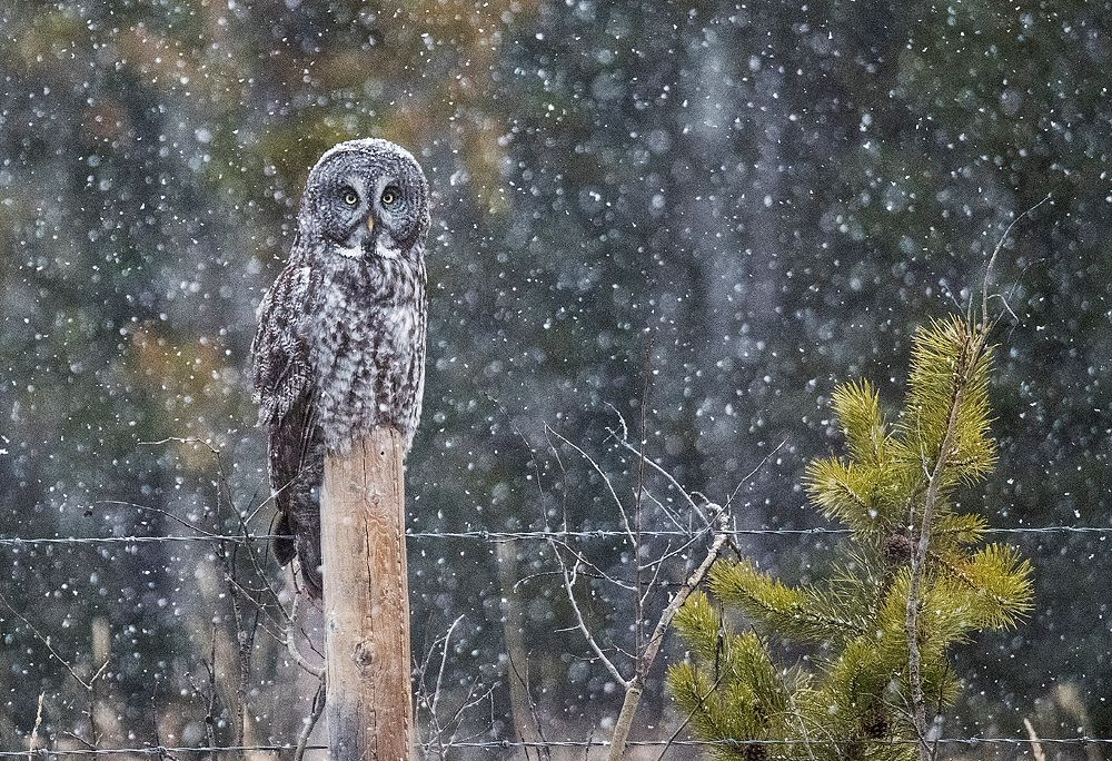 Photo in Animal #strix nebulosa #owl #great grey owl #great gray owl #grey ghost