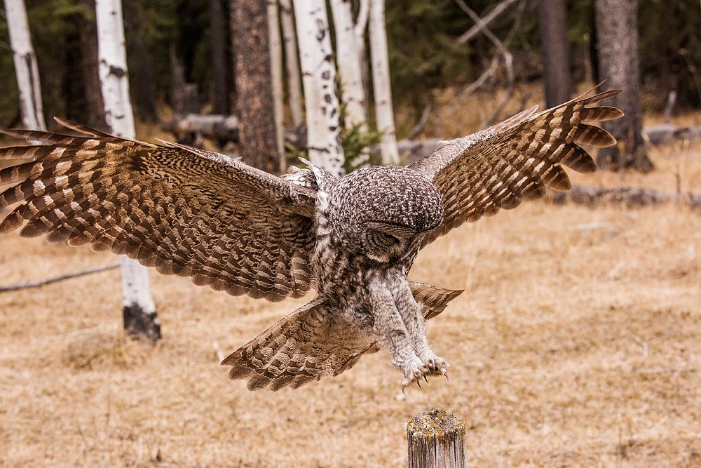 Photo in Animal #strix nebulosa #great grey owl #great gray owl #owl #gray ghost