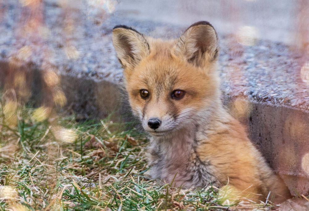 Photo in Animal #red fox #vulpes vulpes #red fox kit