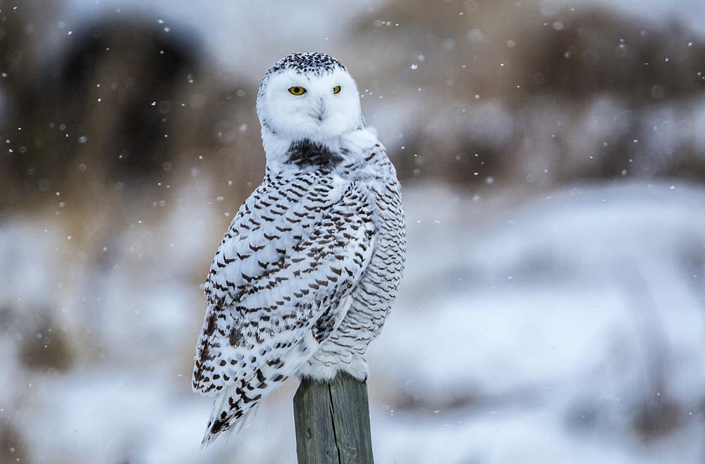 Photo in Animal #snowy owl #bubo scandiacus #owl #bird of prey