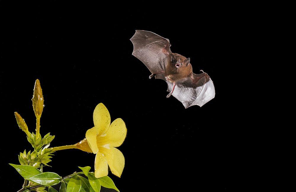 Photo in Animal #long tougued bat #choeronycteris mexicana #mammal
