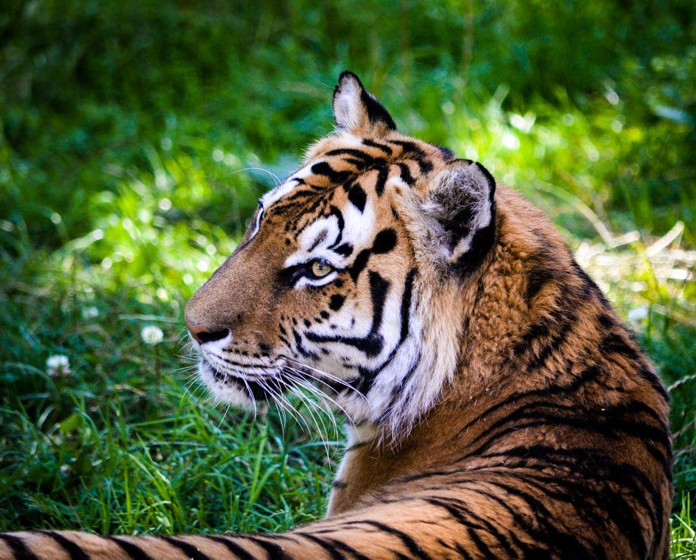 Photo in Nature #tiger #predator #mammal #large cat