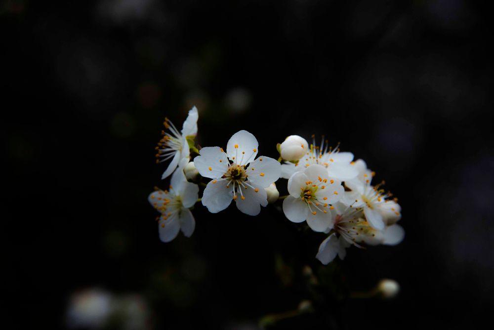Photo in Random #cherry #blossom #macro