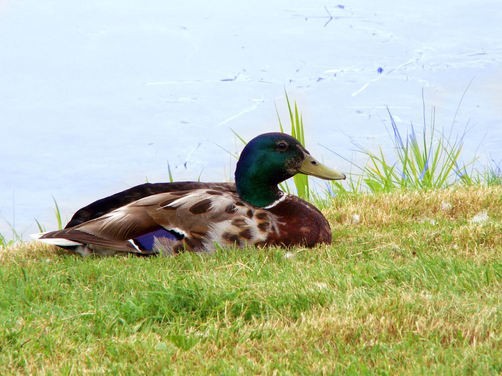 Photo in Animal #bird #duck #animal
