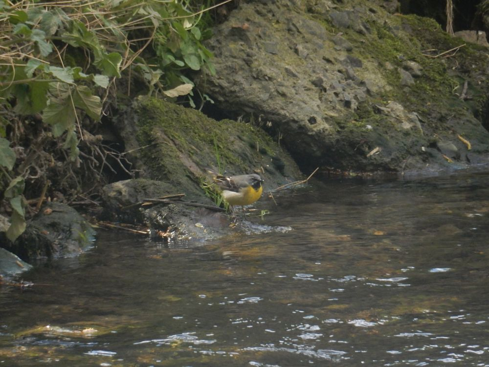 Photo in Animal #linton #cambs #cambridgeshire #england #bird #wagtail
