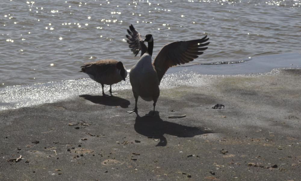 Photo in Random #fairhaven lake #geese #lytham st annes