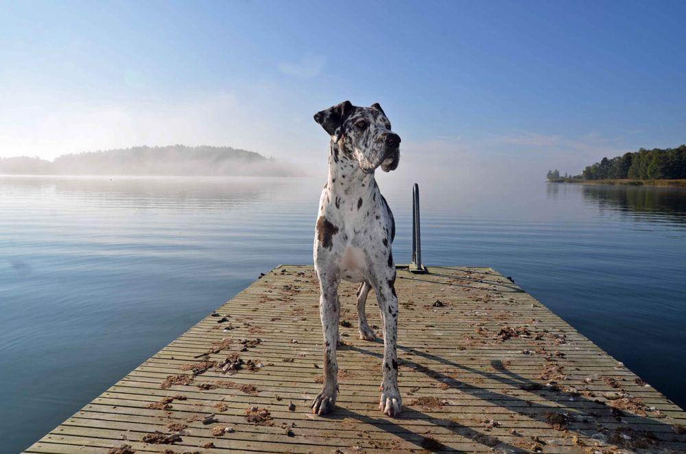 Photo in Animal #great dane #harlekin #grand danois #dog