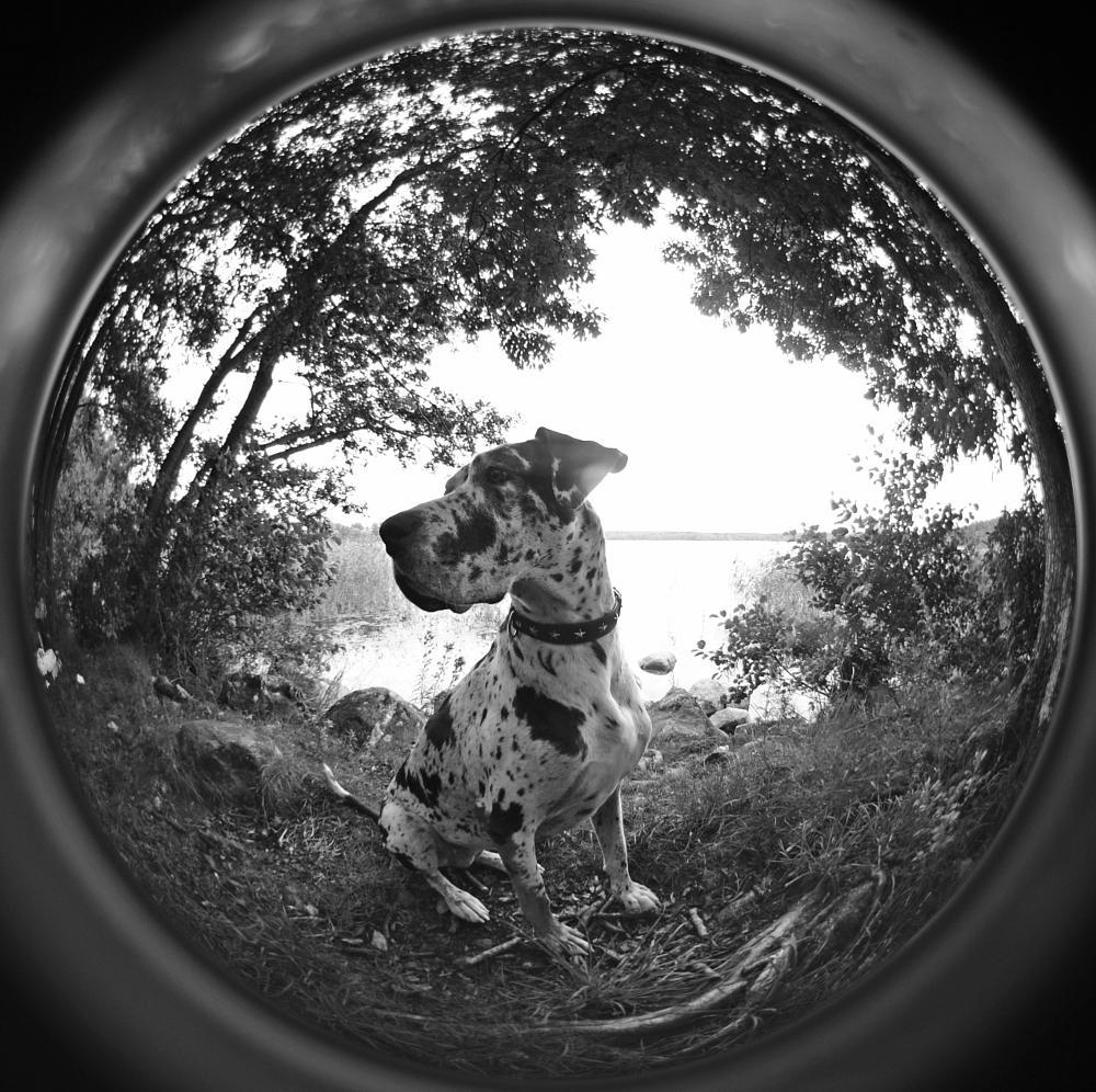 Photo in Black and White #circular fisheye #grand danois #great dane #dog #harlequin