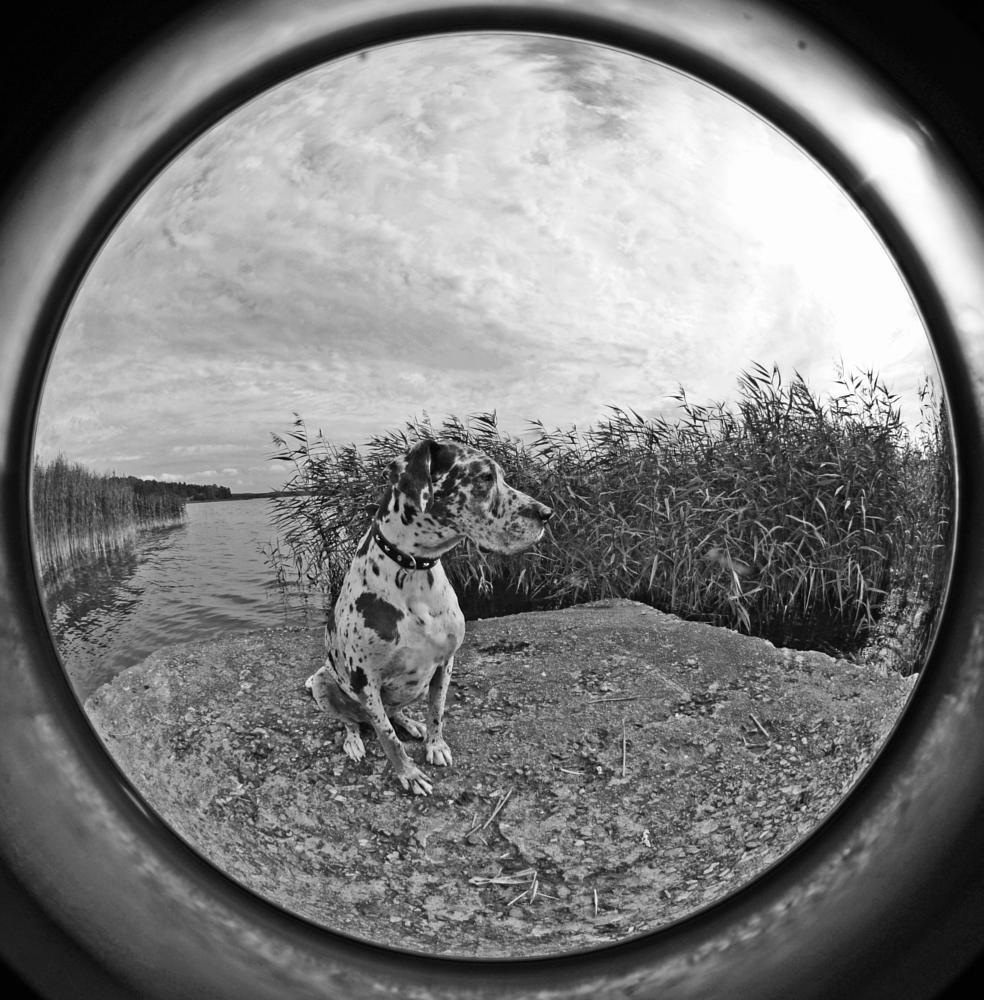 Photo in Animal #circular fisheye #grand danois #dog #great dane #harlequin