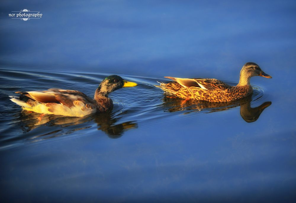 Photo in Animal #ducks #llangorse lake #brecon #nikon d800 #nikkor #wales #lakes #lake #animals