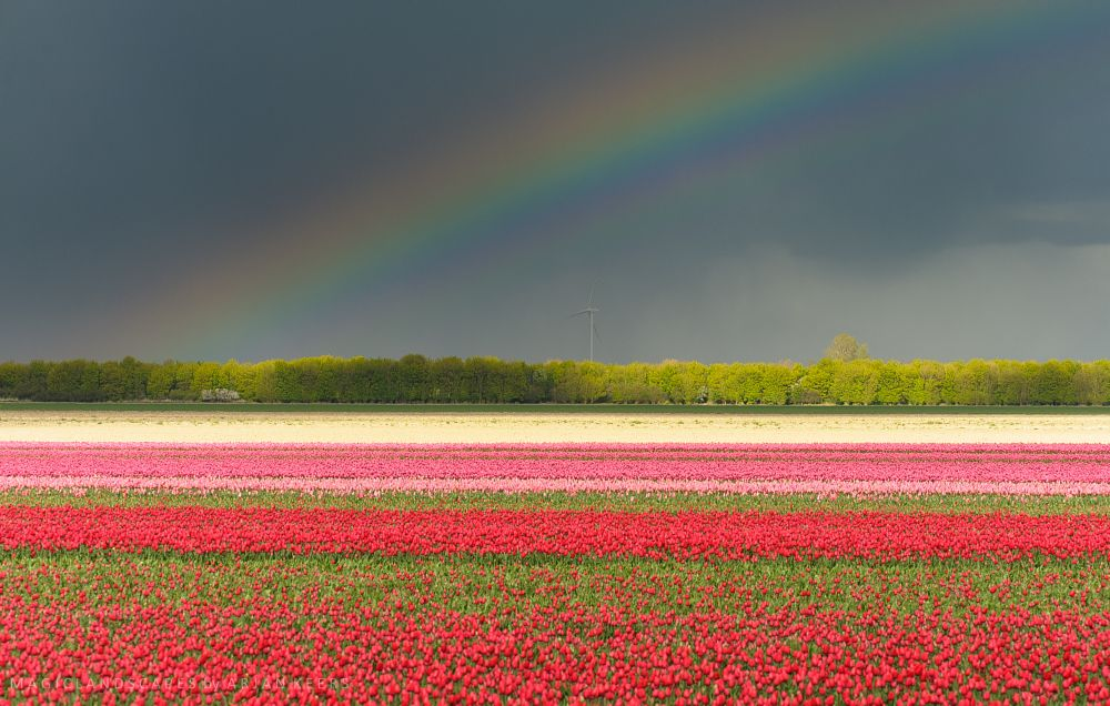 Photo in Landscape #tulips #tulip #flower #flowers #fields #holland #toerism #bulb #rainbow #colours #flevoland