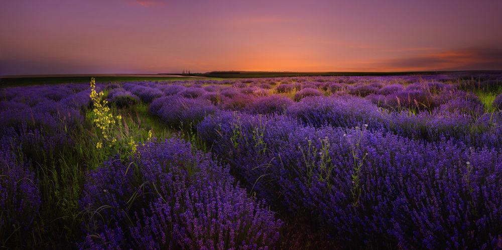 Photo in Landscape #lavender #lavender filed #sunset #bulgaria
