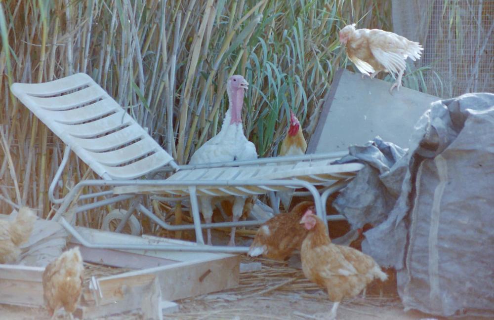 Photo in Animal #chicken #turkey