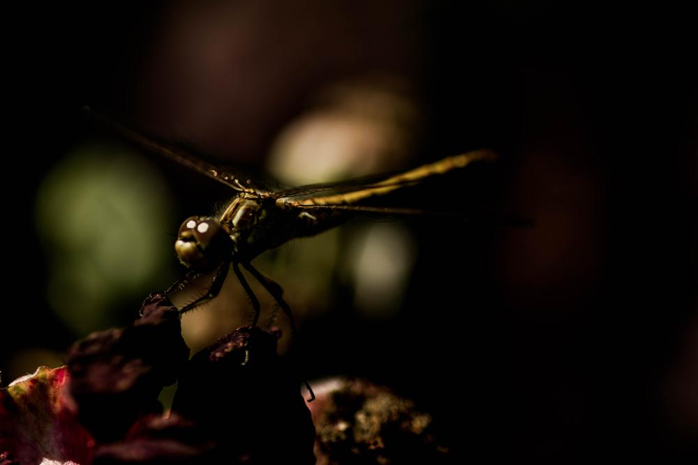 Photo in Animal #rose #plant #flower #garden #animal #insect #fly #flying #dragonfly #wings #close up #macro #nature #dark #light #plants #close #green #red #bokeh #contrast